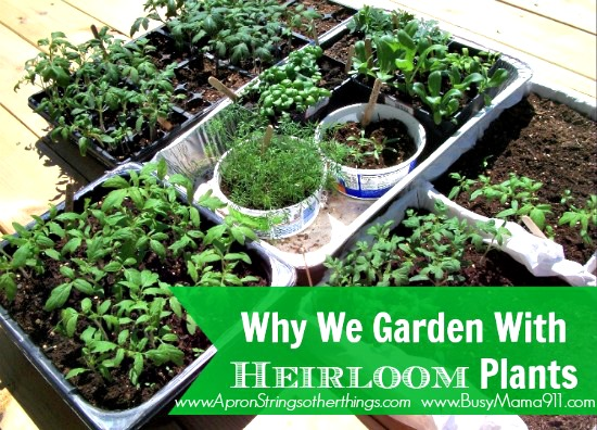 heirloom bedding plants - Apron Strings & other things