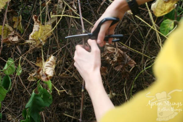 Cutting Grapevines at ApronStringsOtherThings.com
